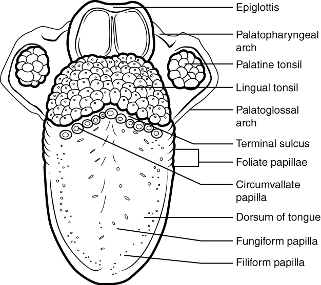 This diagram shows the structure of the tongue and different parts of the tongue are labeled.