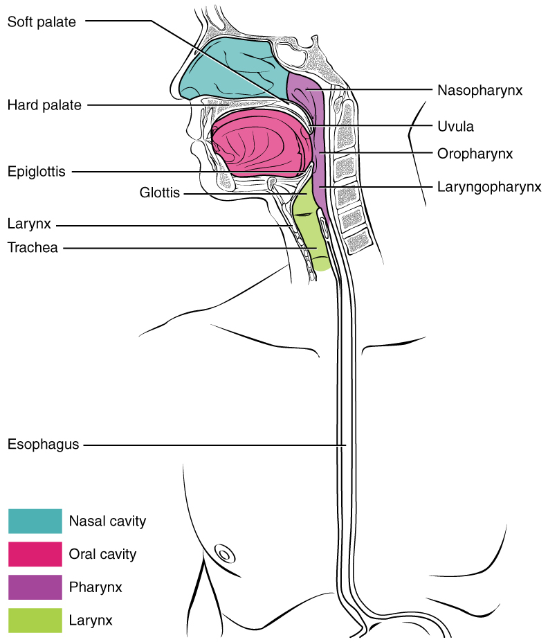 This diagram shows the cross-section of a human face and highlights the location of the pharynx, which runs from the nostrils to the esophagus and the larynx.