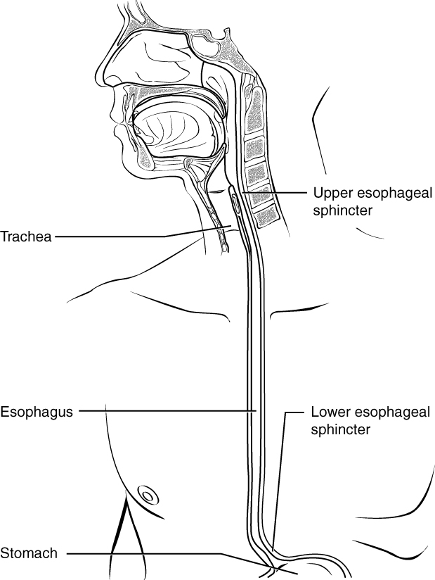 233 The Mouth Pharynx And Esophagus Anatomy And Physiology
