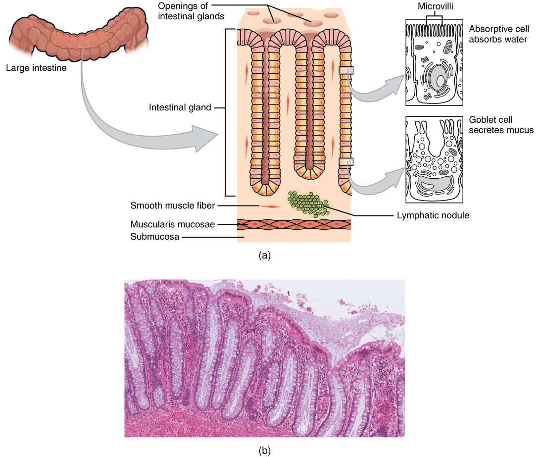 23.5 The Small and Large Intestines | Anatomy and Physiology