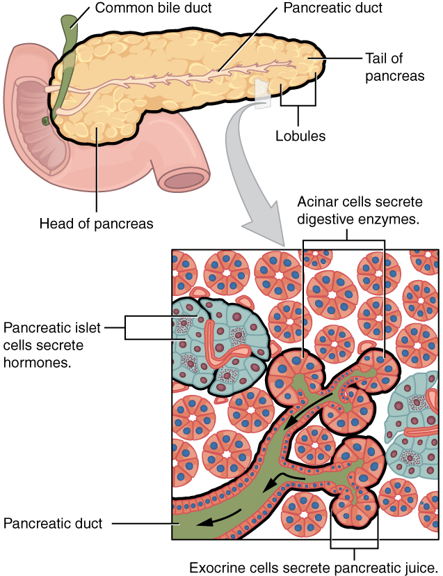 236 Accessory Organs In Digestion The Liver Pancreas And