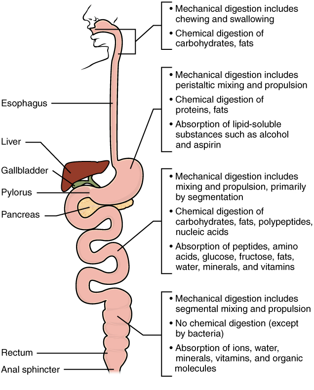23 7 Chemical Digestion And Absorption A Closer Look Anatomy And Physiology