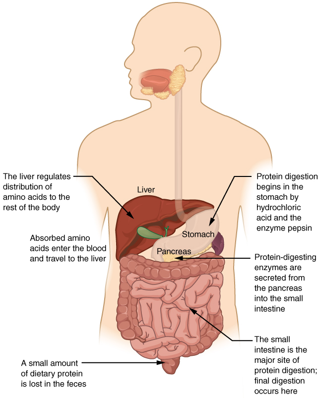 this diagrams shows the human digestive system and identifies the role of  each organ in protein