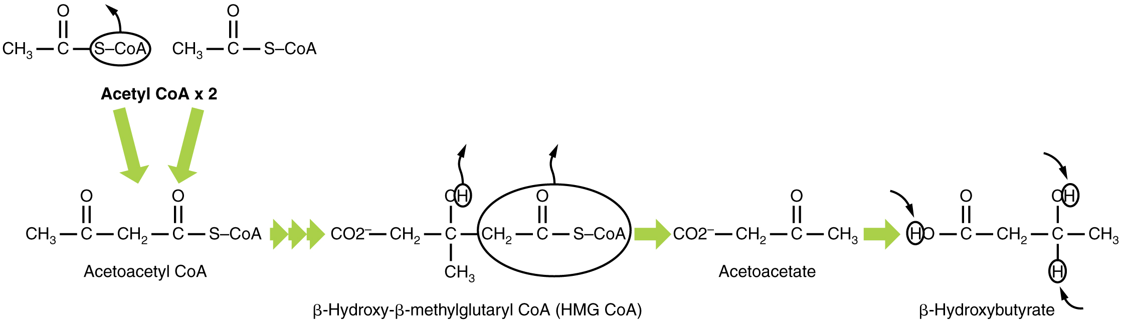 This pathway shows the production of beta-hydroxybutyrate from acetyl-CoA.