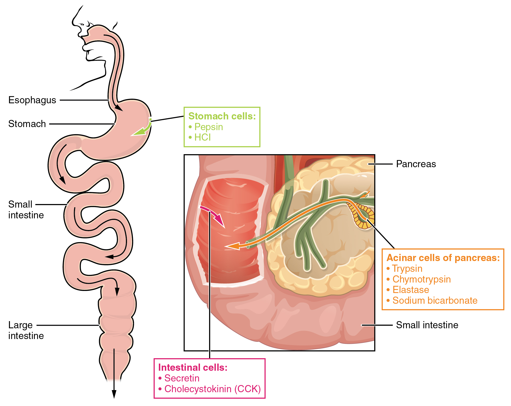 244 protein metabolism anatomy and physiology the left panel shows the main organs of the digestive system and the right panel fandeluxe Images