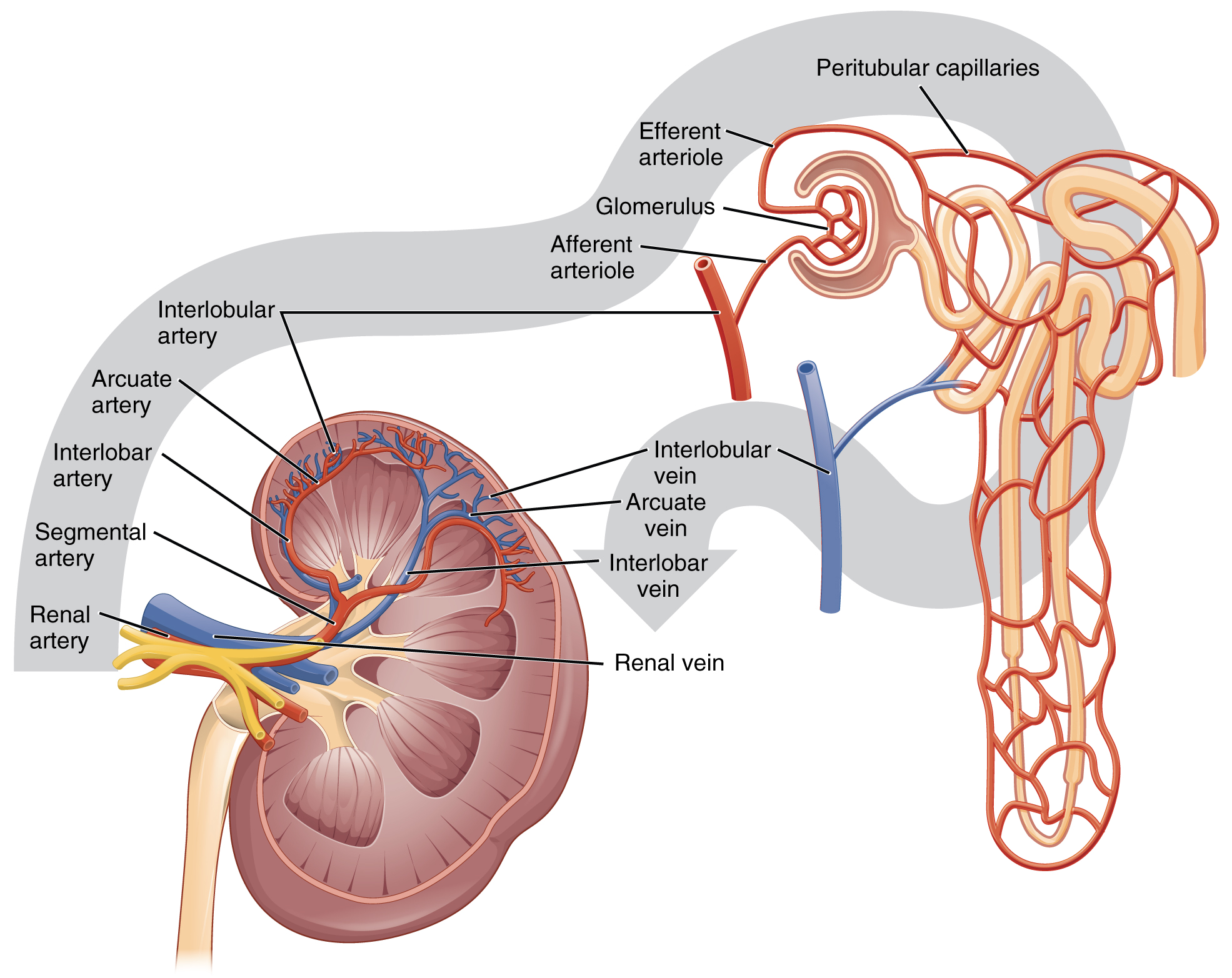 253 Gross Anatomy Of The Kidney Anatomy And Physiology
