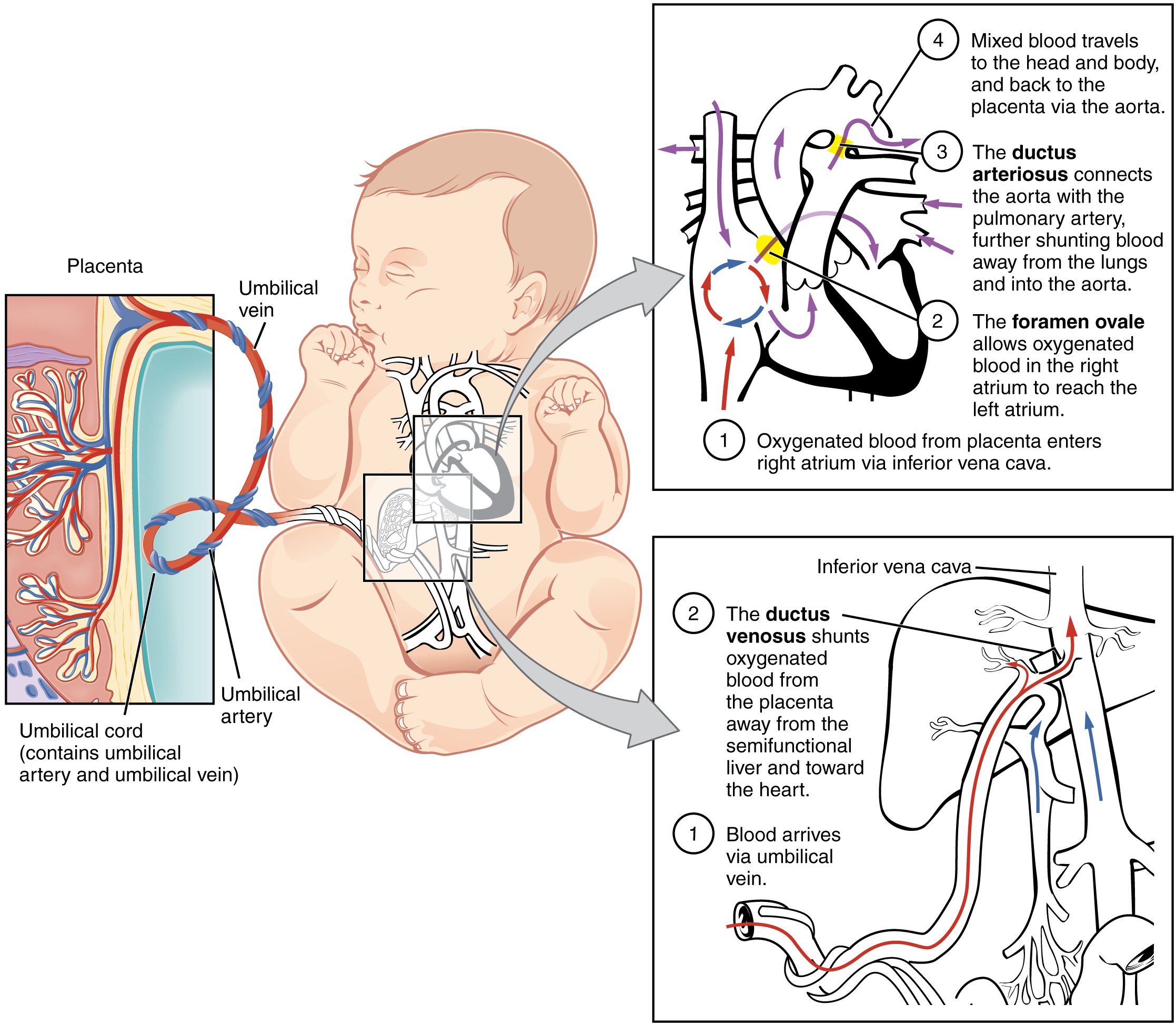 28.3 Fetal Development – Anatomy and Physiology