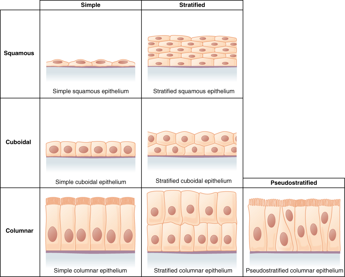 This figure is a table showing the appearance of squamous, cuboidal and columnar epithelial tissues. Simple and compound forms are shown for each tissue type. In a simple squamous epithelium, the cells are flattened and single layered. In a simple cuboidal epithelium, the cells are cube shaped and single layered. In a simple columnar epithelium, the cells are rectangular and are attached to the basement membrane on one of their narrow sides, so that each cell is standing up like a column. There is only one layer of cells. In a pseudostratified columnar epithelium, the cells are column-like in appearance, but they vary in height. The taller cells bend over the tops of the shorter cells so that the top of the epithelial tissue is continuous. There is only one layer of cells. A stratified squamous epithelium contains many layers of flattened cells. Stratified cuboidal epithelium contains many layers of cube-shaped cells. Stratified columnar epithelium contains many layers of rectangular, column-shaped cells.