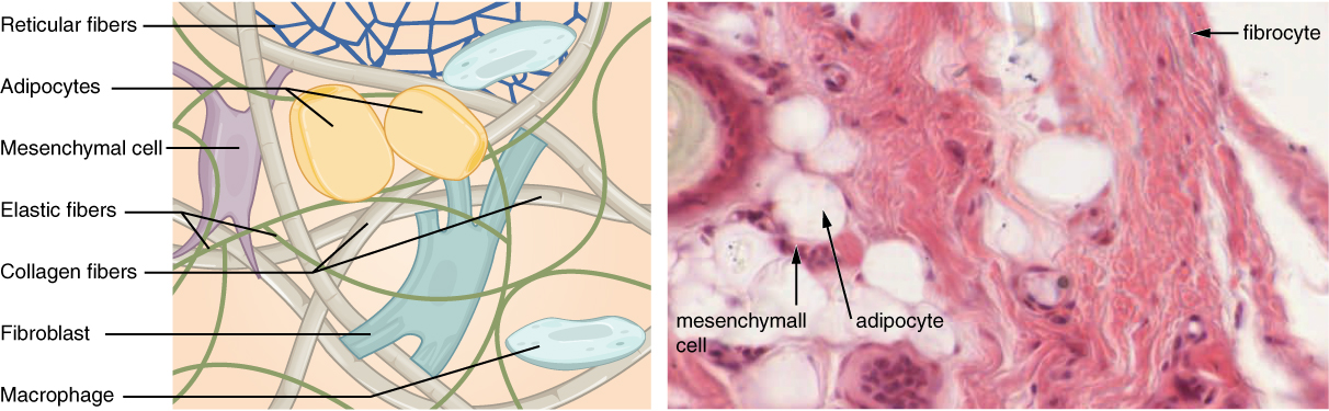 The left image shows a diagram of connective tissue. As a whole, the connective tissue appears somewhat disorganized, with fibers and cells mixed together heterogeneously. There are many open spaces between the embedded elements, suggesting that the connective tissue is somewhat loosely packed. The thickest fibers are collagen fibers; the thinner fibers are elastic fibers. Both the collagen fibers and the elastic fibers crisscross randomly throughout the tissue. In addition, a net of reticular fibers appear in the upper part of the diagram. Two yellow and oval shaped adipocytes are embedded below the reticular fiber net, with a small dark nucleus squeezed into one corner of the cell. A mesenchymal cell is next to one of the adipocytes. The cell is rectangular and has four projections stemming from each corner of the cell. The projections appear to attach to the nearby collagen fibers. A fibroblast is located at the center of the diagram. The fibroblast appears similar to the mesenchymal cell, except that it is larger and has more projections. Finally, a white macrophage is in the lower right of the diagram. The macrophage is a white, oval shaped disc with a prominent nucleus. The right diagram is a micrograph of connective tissue. The tissue is mostly stained pink, however, the thick collagen fibers crisscrossing the tissue are white. Five adipocytes also appear white, except for their cell membrane and nucleus, which stained dark. A mesenchymal cell occupies the space between two adipocytes. It stains a very deep purple, but its shape is unclear in the micrograph. A fibrocyte is also visible as an oval shaped cell with a deep purple nucleus.