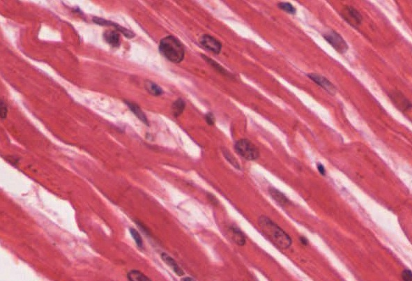 107 Cardiac Muscle Tissue Anatomy And Physiology