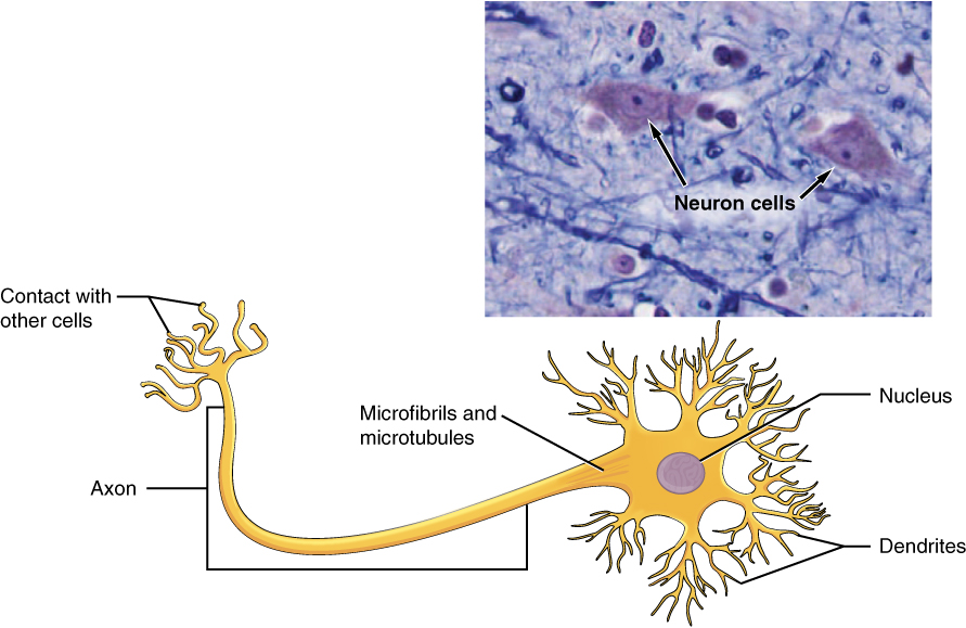 this figure shows a diagram of a neuron and a micrograph showing two neuron  cells