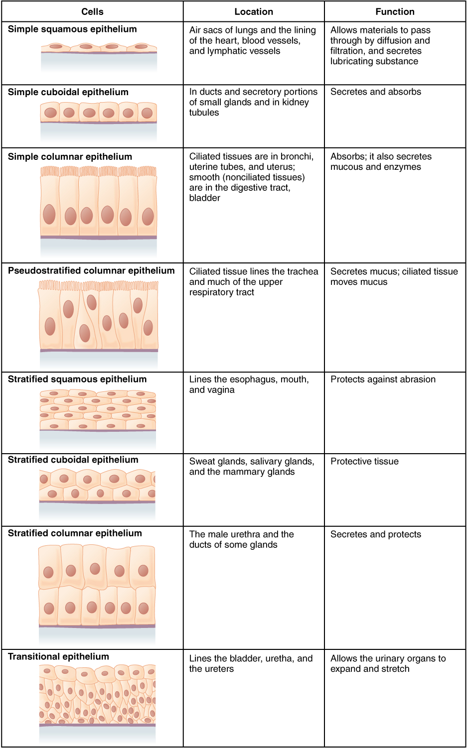 4.2 Epithelial Tissue – Anatomy and Physiology