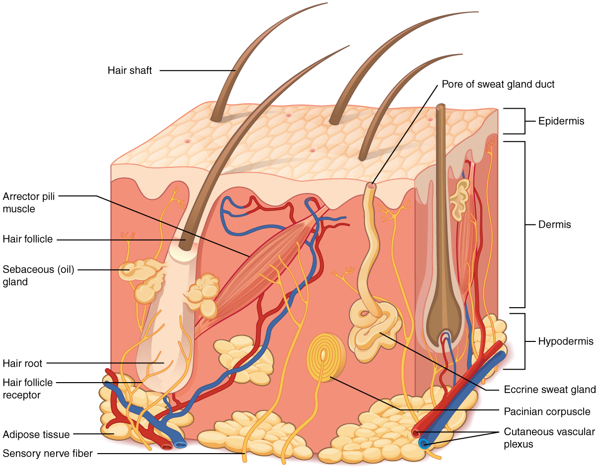 51 Layers Of The Skin Anatomy And Physiology