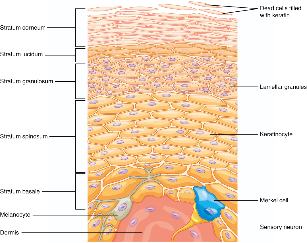 5.1 Layers of the Skin – Anatomy and Physiology