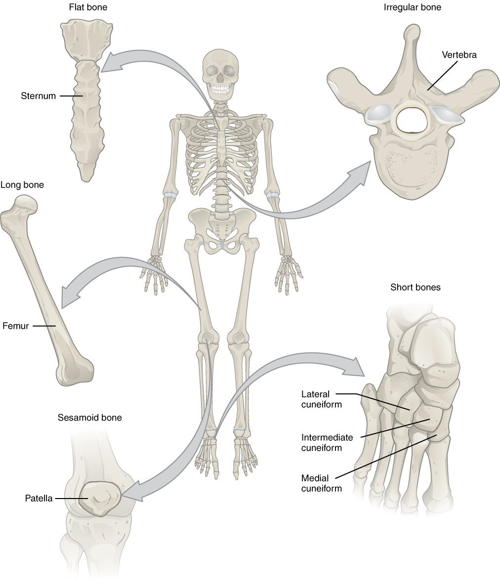 62 Bone Classification Anatomy And Physiology