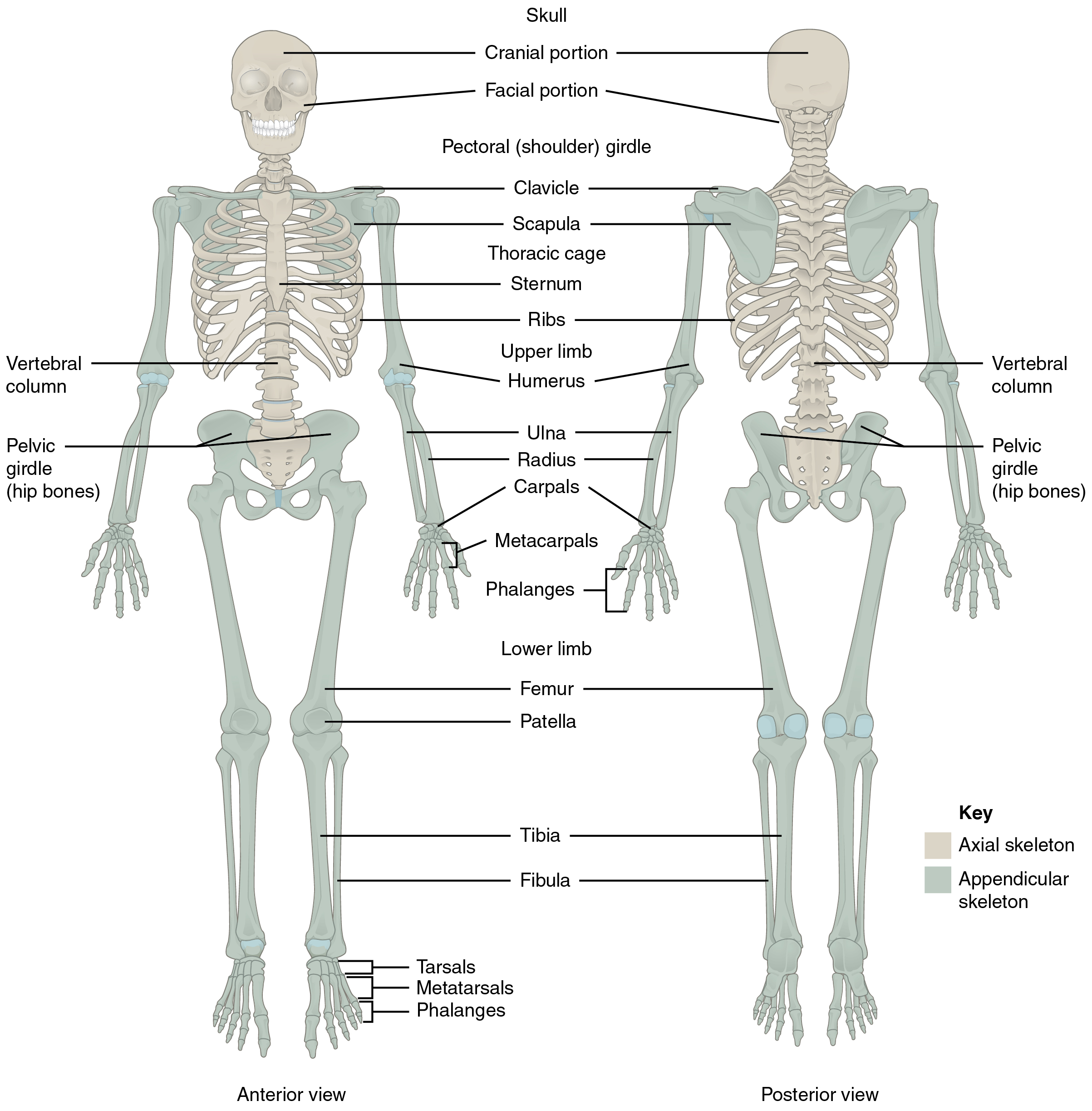 71 divisions of the skeletal system anatomy and physiology this diagram shows the human skeleton and identifies the major bones the left panel shows ccuart