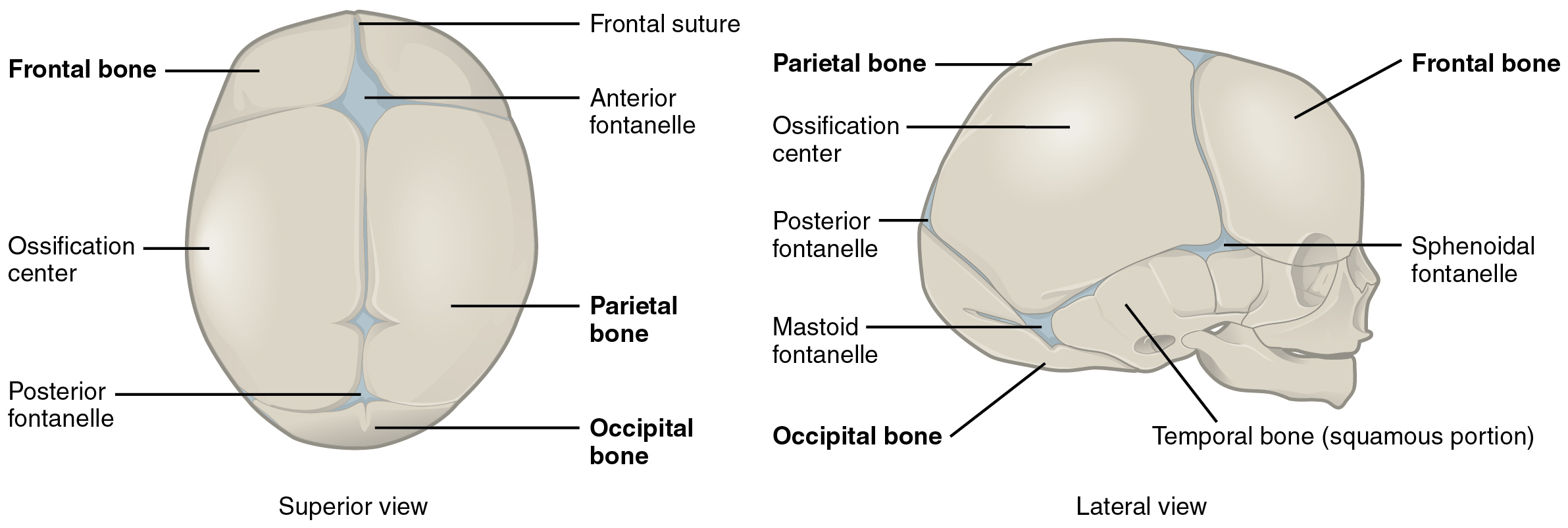 This diagram shows the image of a newborn human skull. The major parts of the skull are labeled. The left panel shows the superior view (from the top) and the right side shows the lateral view (from the side).