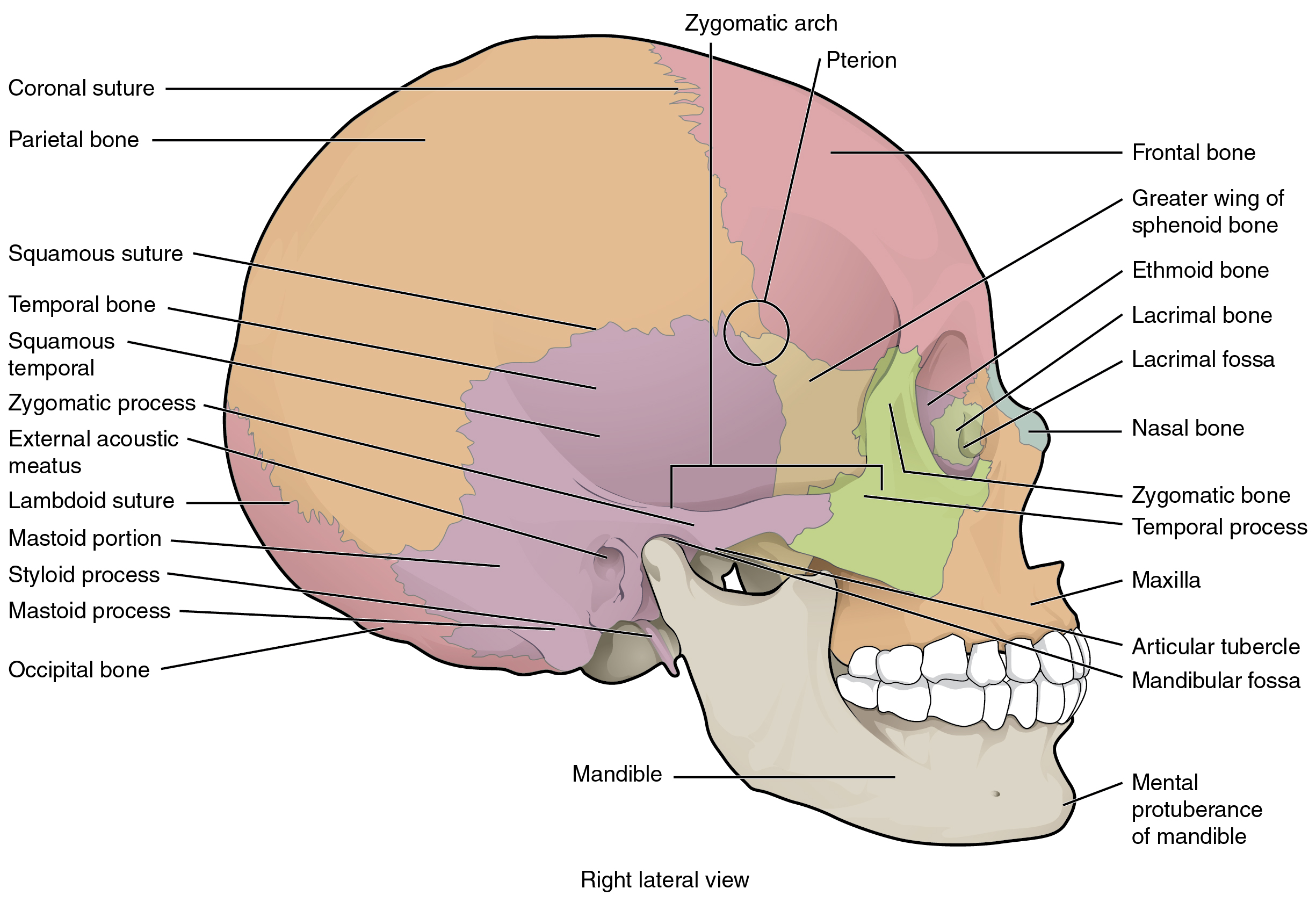 7 2 the skull \u2013 anatomy and physiology Facial Skeleton Diagram this image shows the lateral view of the human skull and identifies the major parts