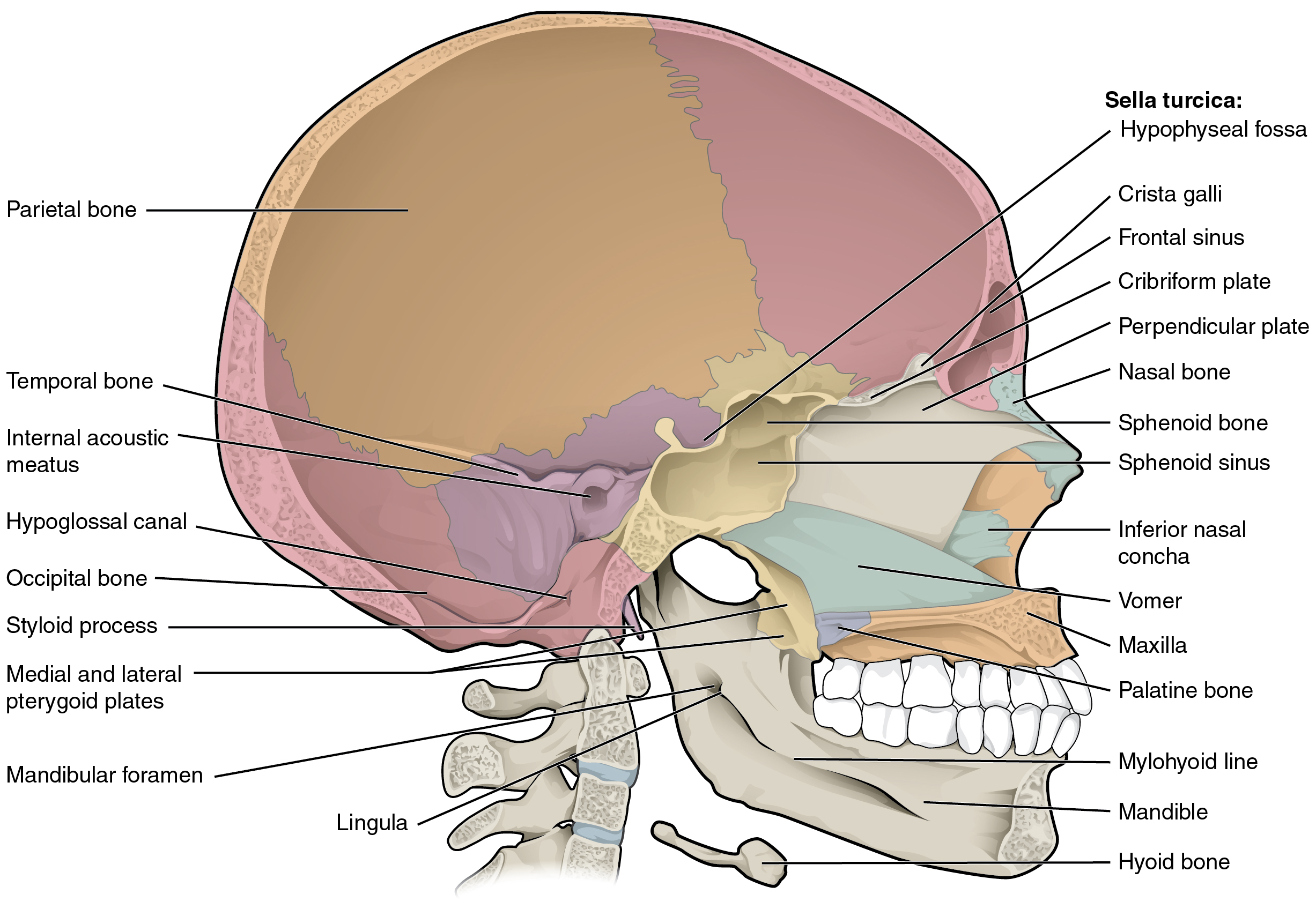 Bone Diagram Of Skull Wiring Block Diagram