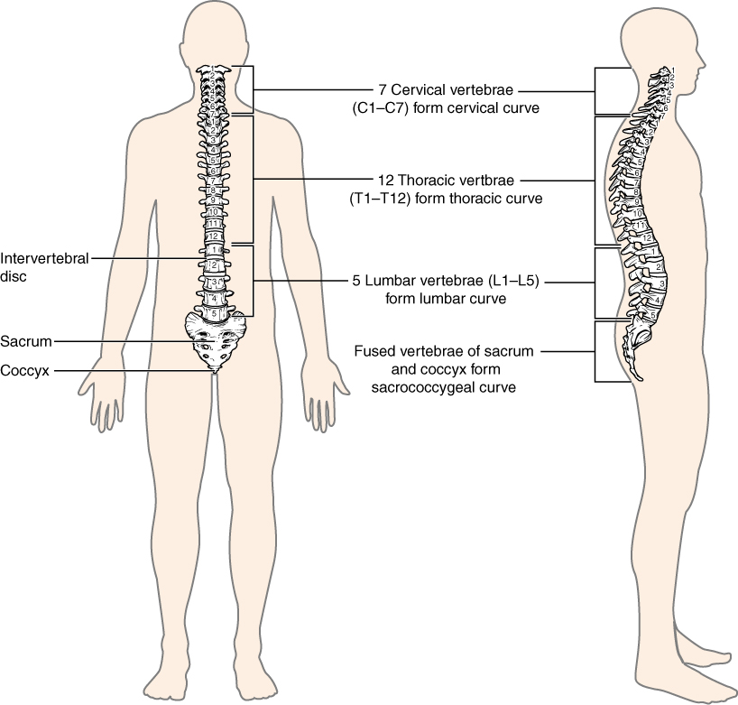 7.3 the vertebral column | anatomy and physiology, Human Body