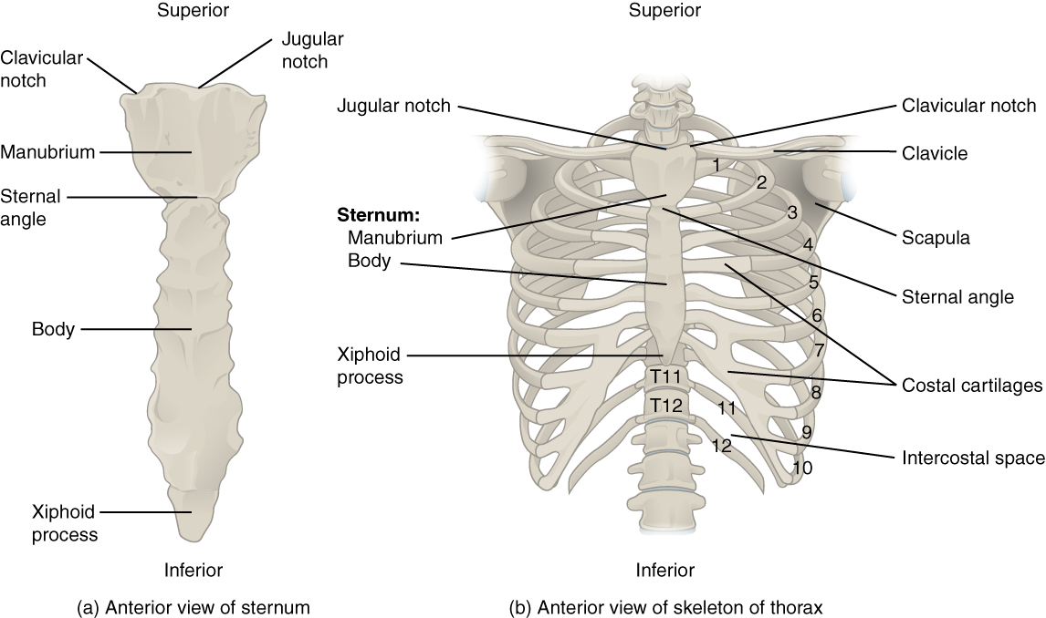 7.4 The Thoracic Cage – Anatomy and Physiology