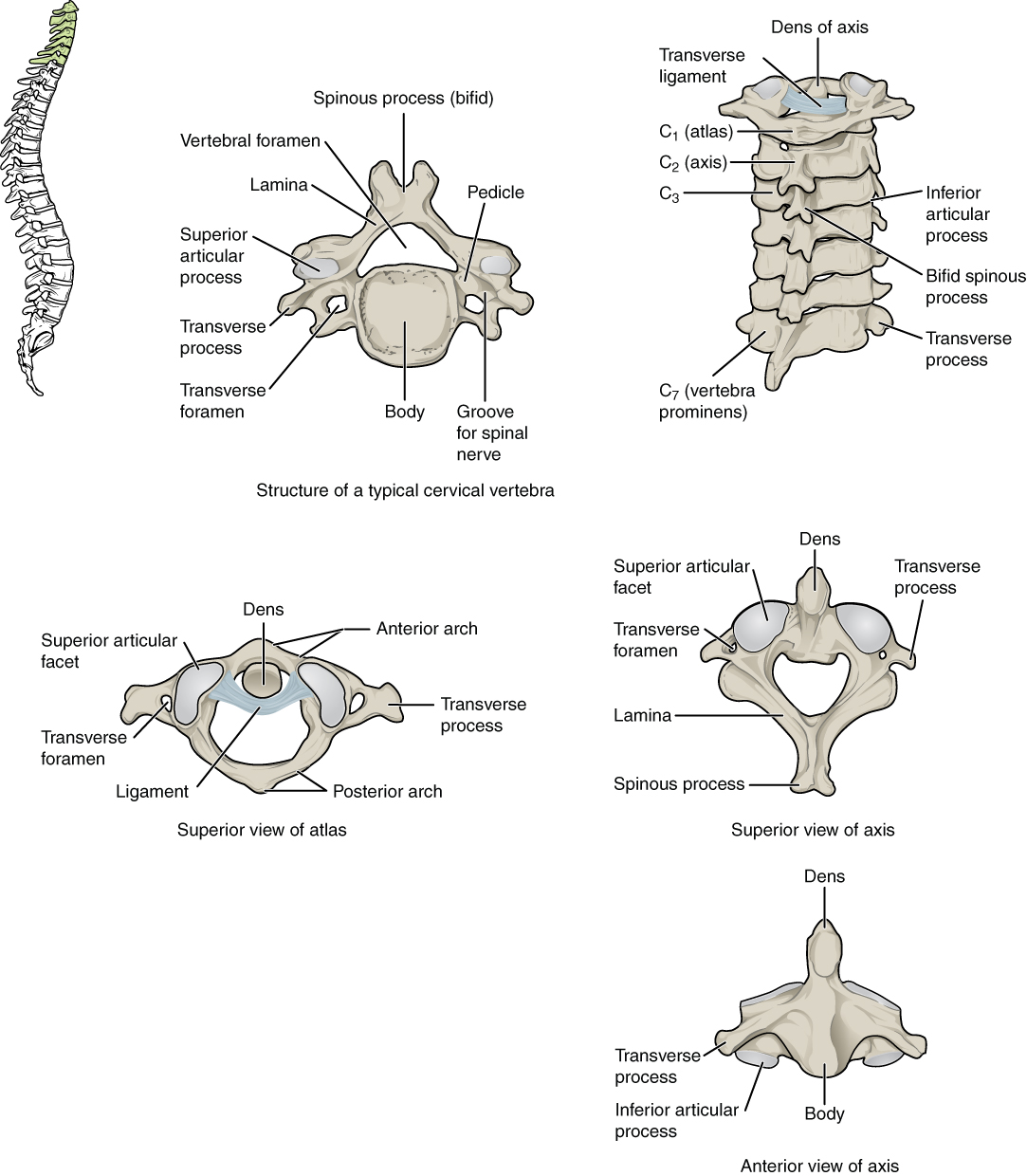 This figure shows the structure of the cervical vertebrae. The left panel shows the location of the cervical vertebrae in green along the vertebral column. The middle panel shows the structure of a typical cervical vertebra and the right panel shows the superior and anterior view of the axis.