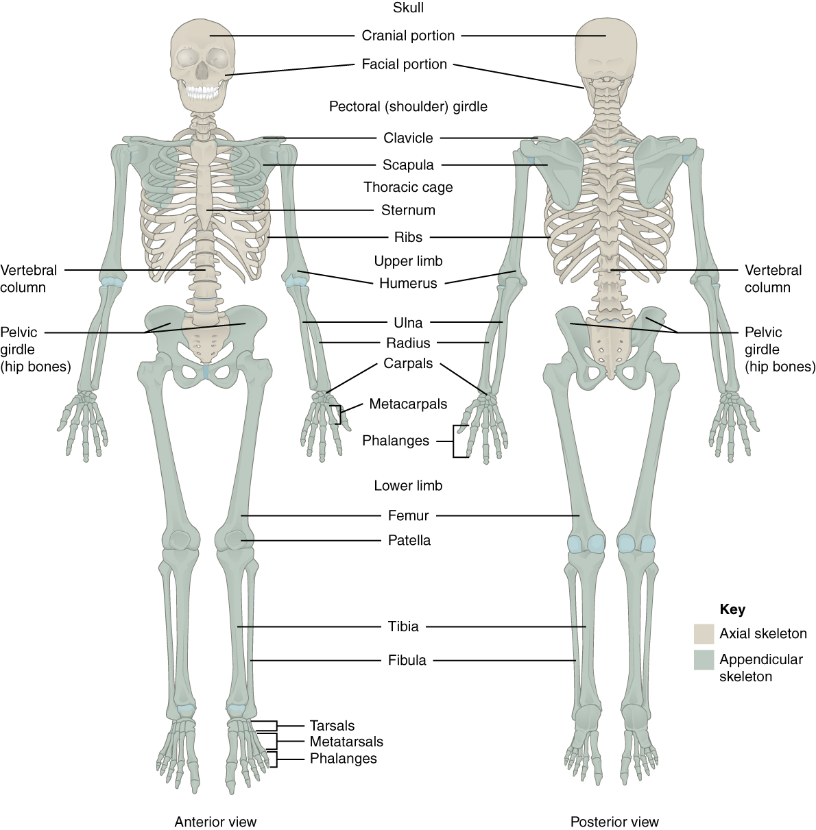 Back And Shoulder Bone Diagram Block And Schematic Diagrams