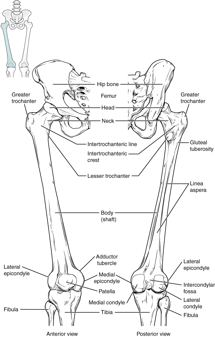 8.4 bones of the lower limb – anatomy and physiology