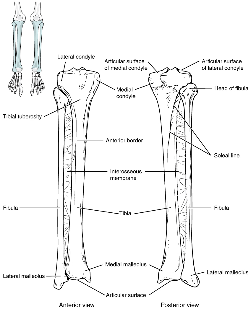 8 4 bones of the lower limb \u2013 anatomy and physiology Fibula Bone Anatomy Diagram