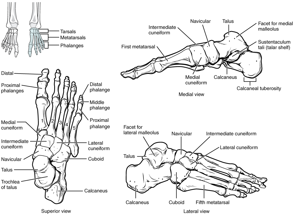 8 4 bones of the lower limb anatomy and physiology