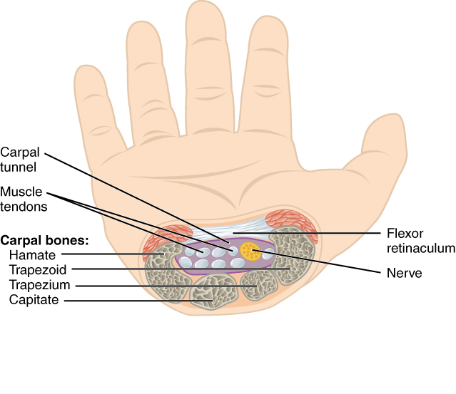 This figure shows a hand and a cross-section image of the nerves at the wrist.