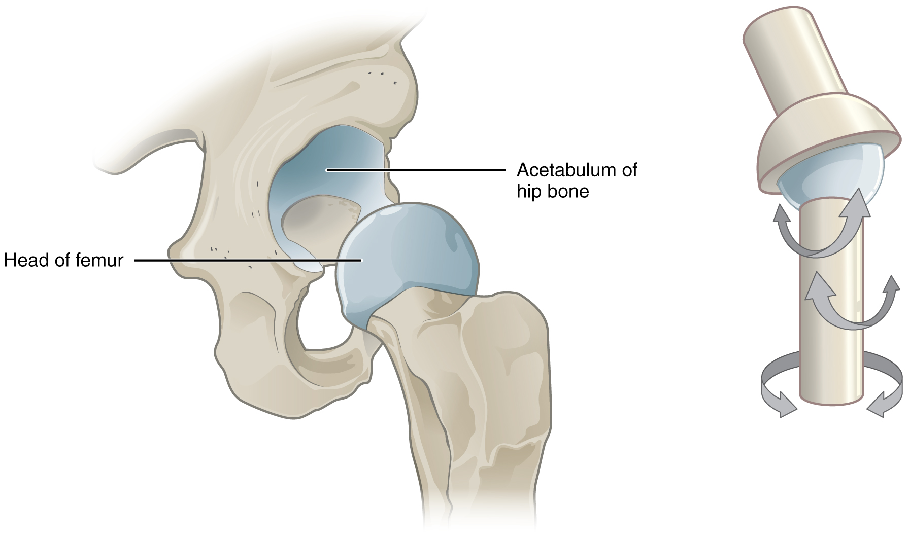 This image shows a multiaxial joint. The left panel shows the acetabulum of the hip bone and the head of the femur. The right panel shows a simplified ball-and-socket joint structure to illustrate the movement of the hip joint.