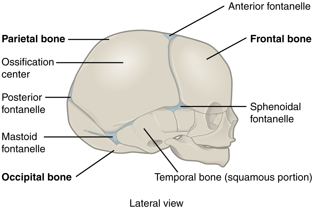 This figure shows the lateral view of the newborn skull with the major parts labeled.