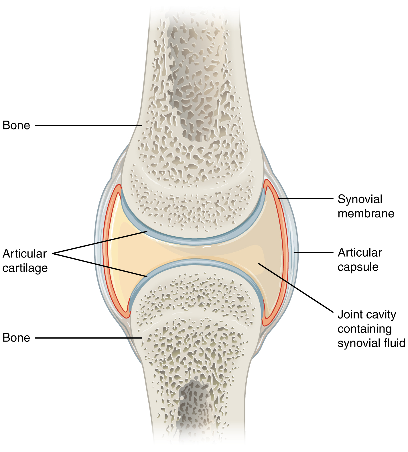 9.4 Synovial Joints – Anatomy and Physiology