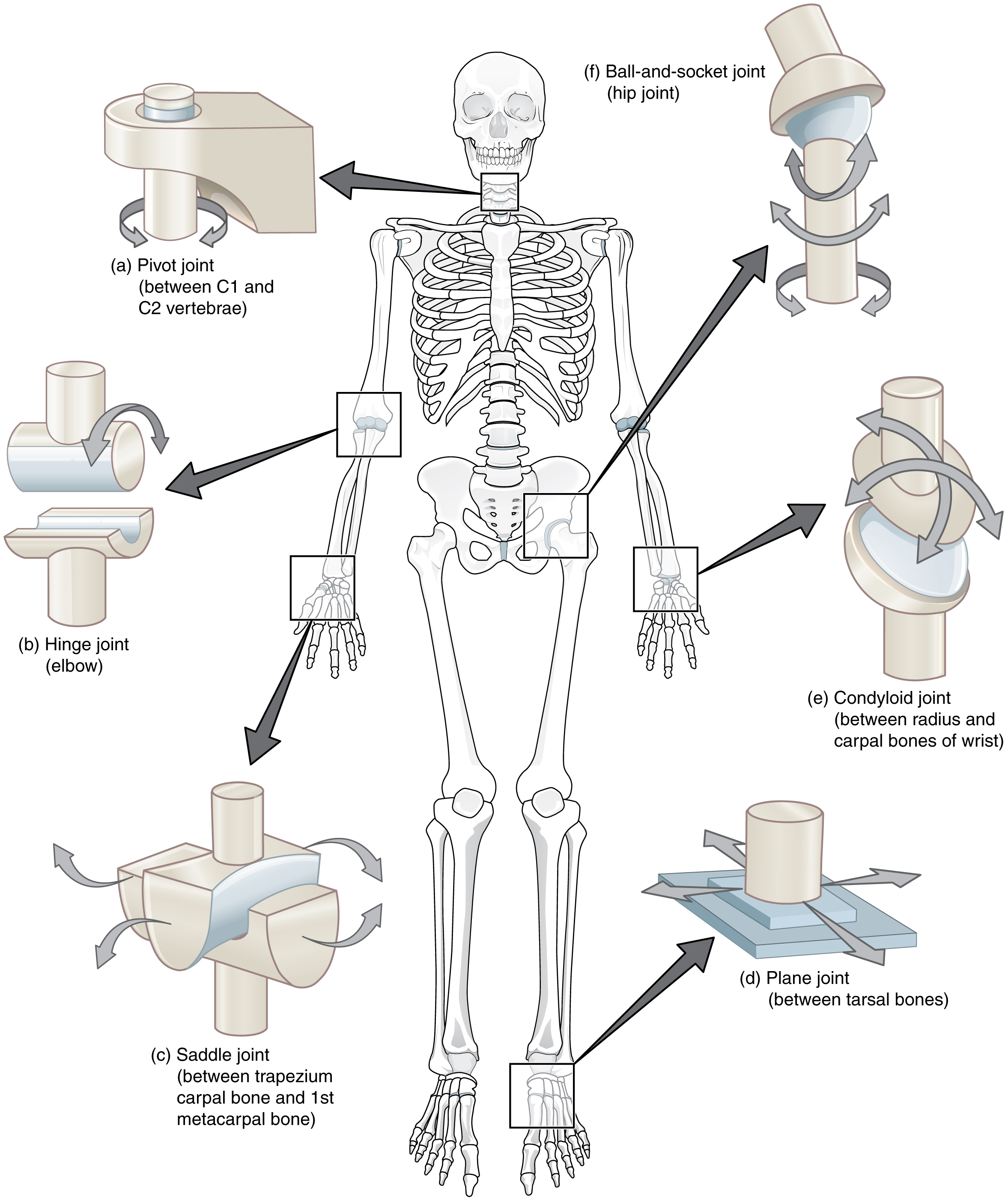 Printables Joints And Movement Worksheet 9 4 synovial joints anatomy and physiology this composite image shows the different types of in body the
