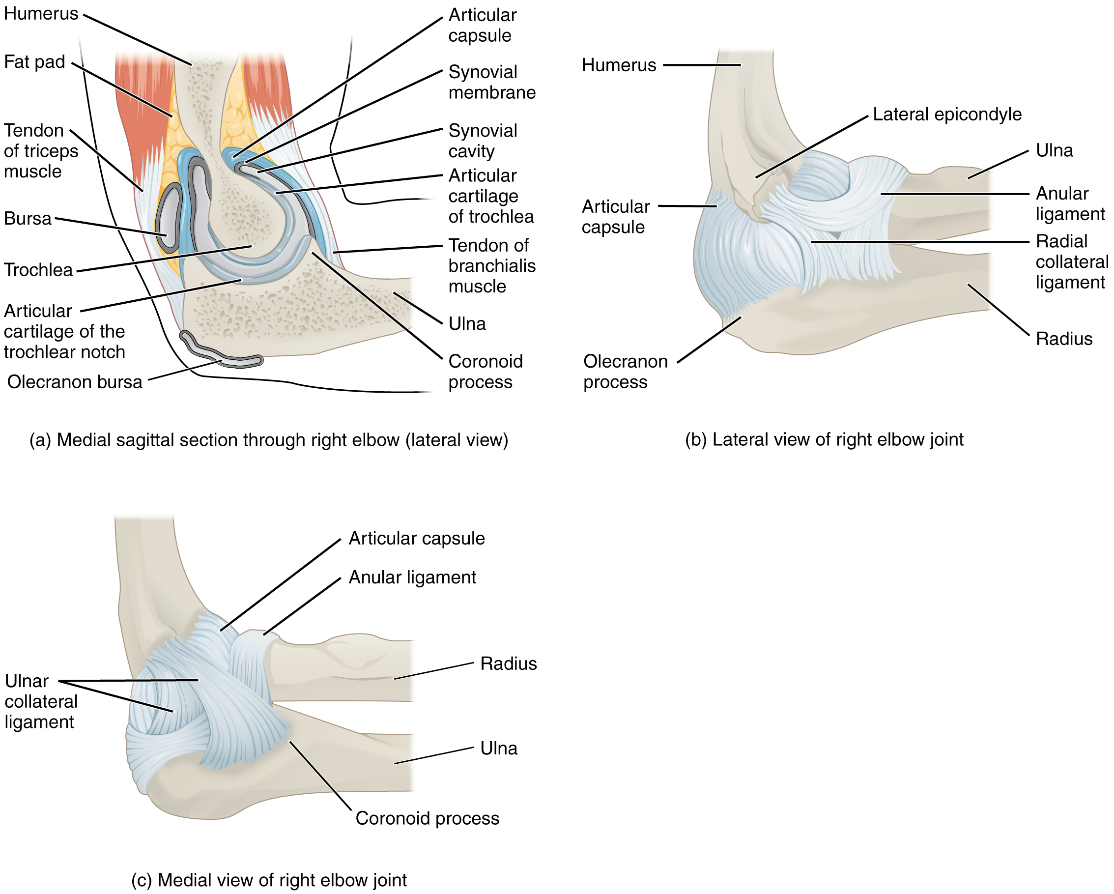 9.6 Anatomy of Selected Synovial Joints – Anatomy and Physiology
