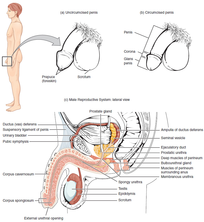 271 Anatomy And Physiology Of The Male Reproductive System