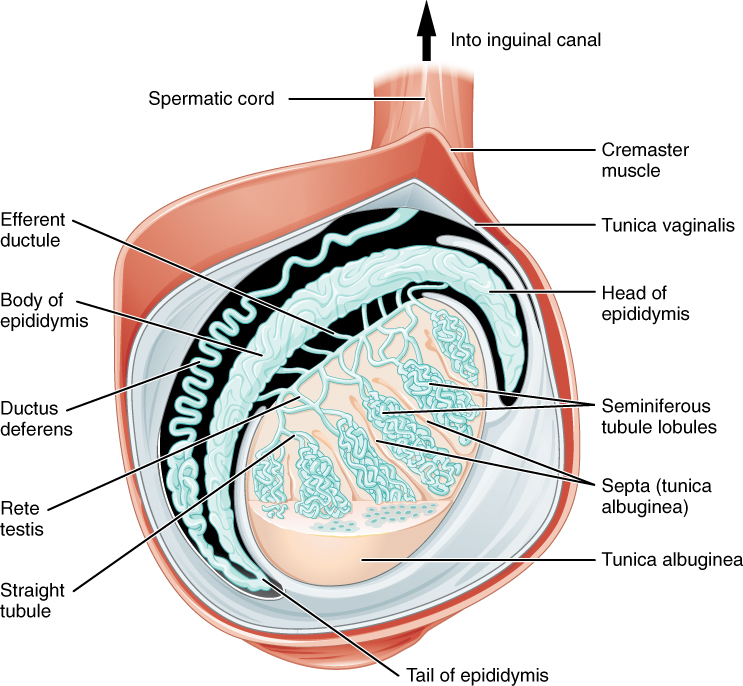 27.1 Anatomy and Physiology of the Male Reproductive System ...