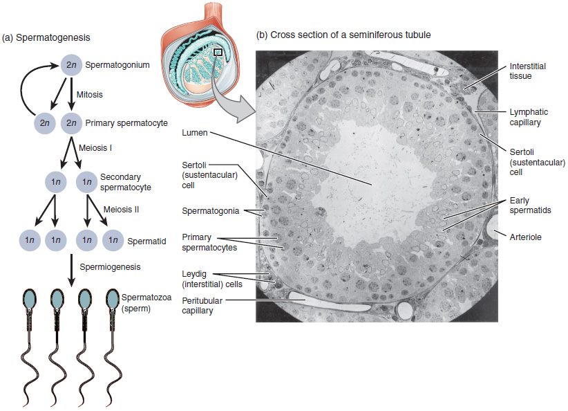 Sperm sperm and greater amount sperm part xvii