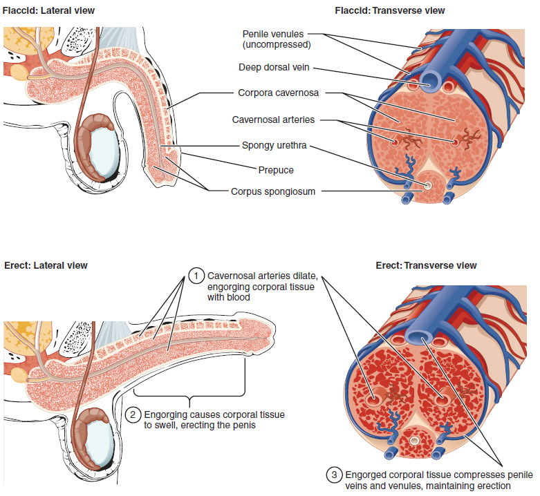 271 anatomy and physiology of the male reproductive system this multipart diagram shows the cross section of the penis the top left panel shows ccuart Choice Image
