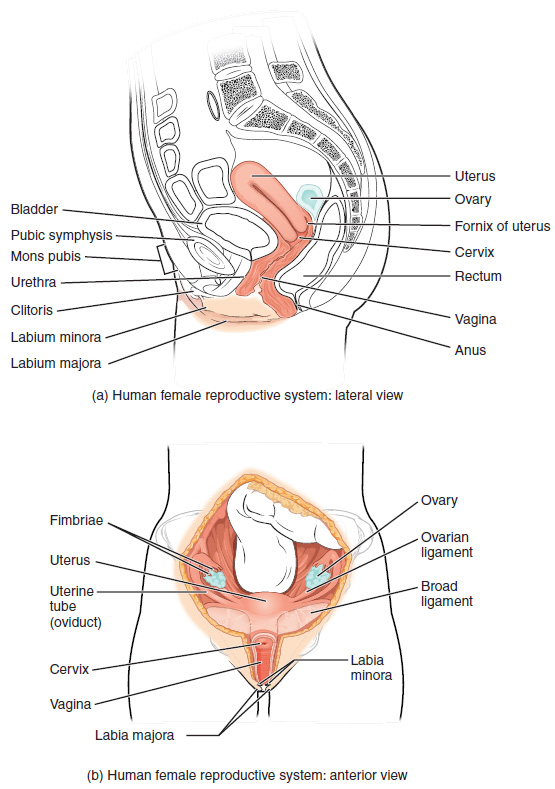 This figure shows the structure and the different organs in the female  reproductive system. The