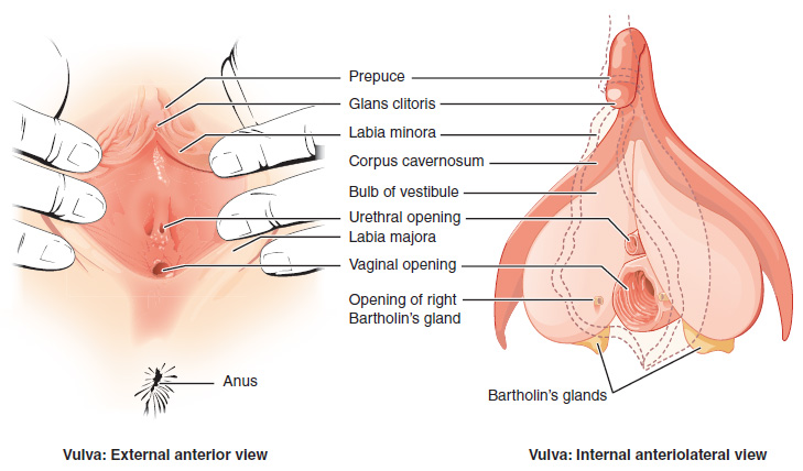 This Figure Shows The Parts Of The Vulva The Right Panel Shows The External Anterior