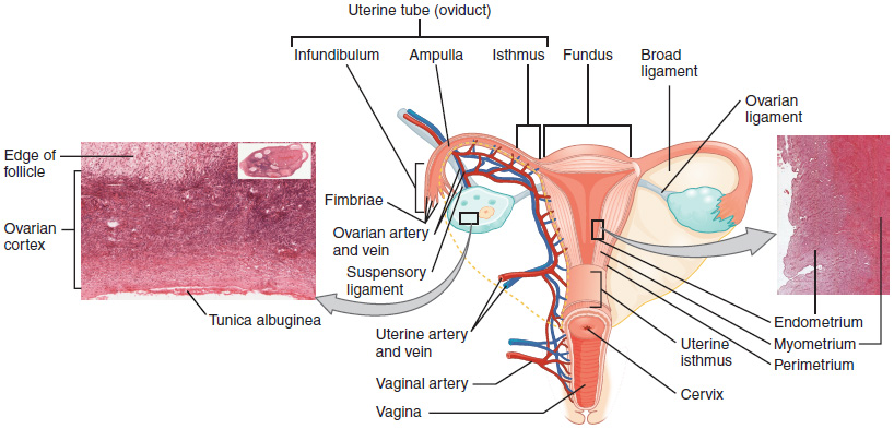 This Diagram Shows The Uterus And Ovaries In The Center To The Left Is A