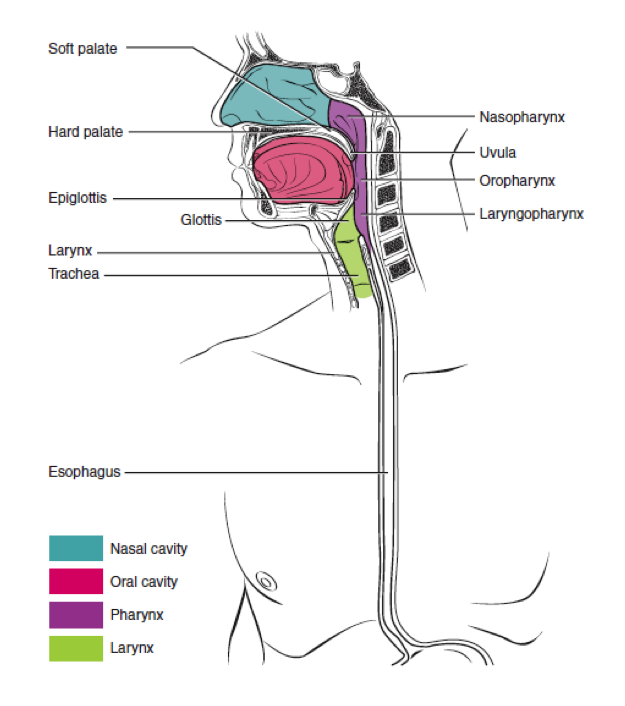 A color illustration of the pharynx.