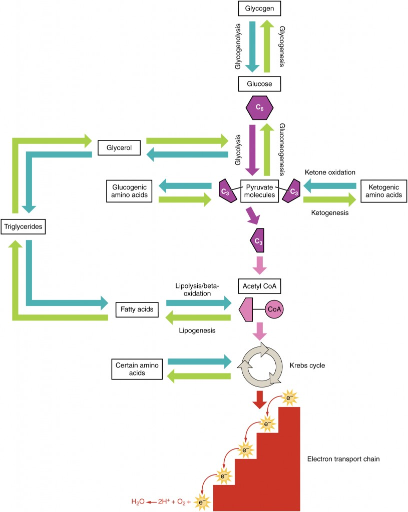 is dna replication a catabolic or anabolic process