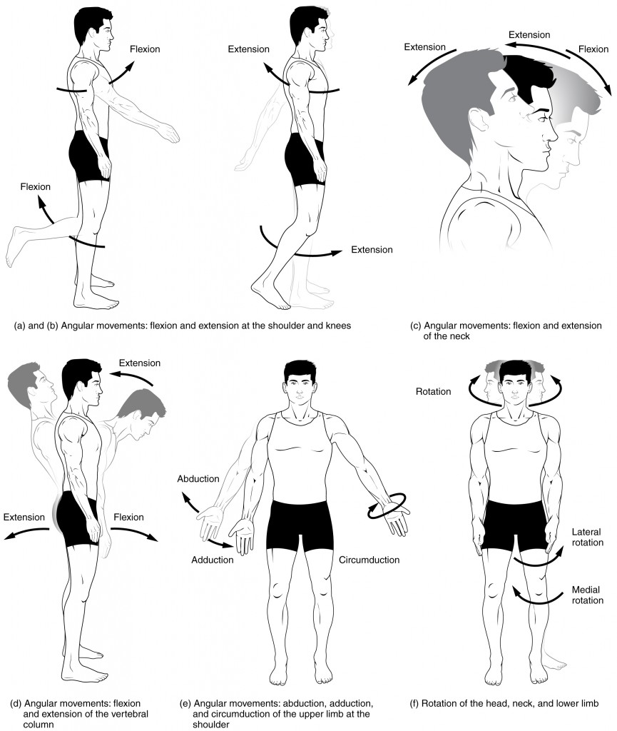 Body movement anatomy