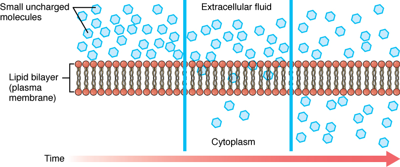 This figure shows the simple diffusion of small non-polar molecules across the plasma membrane. A red horizontal arrow pointing towards the right indicates the progress of time. The nonpolar molecules are shown in blue and are present in higher numbers in the extracellular fluid. There are a few nonpolar molecules in the cytoplasm and their number increases with time.