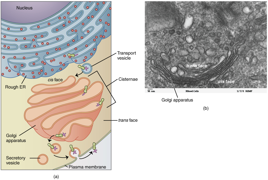 This figure shows the structure of the Golgi apparatus. The diagram in the left panel shows the location and structure of the Golgi apparatus. The right panel shows a micrograph showing the folds of the Golgi in detail.
