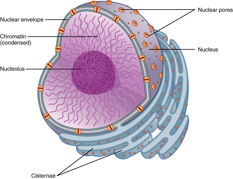 This figure shows the structure of the nucleus. The nucleolus is inside the nucleus, surrounded by the chromatin and covered by the nuclear envelope.