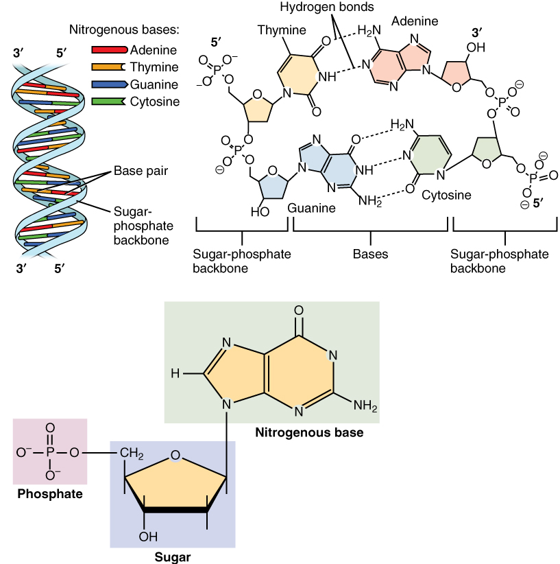 This figure shows the DNA double helix on the top left panel. The different nucleotides are color-coded. In the top right panel, the interaction between the nucleotides through the hydrogen bonds and the location of the sugar-phosphate backbone is shown. In the bottom panel, the structure of a nucleotide is described in detail.